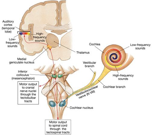 central-auditory-pathways-brain-504x447