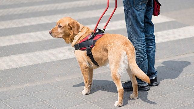 hearing-dog-helping-cross-traffic