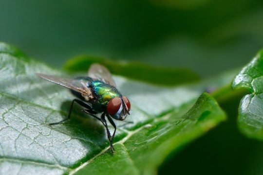 New Research on Fruit Flies Leads to Developments in Age-Induced Hearing Loss Prevention